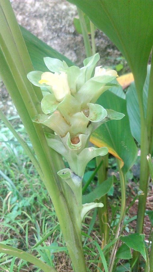 Большой цветок турмерина готовый для цветеня стоковое изображение rf