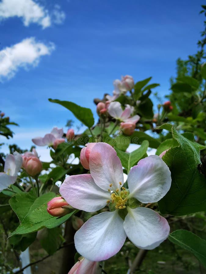 Большой цветок яблока стоковые фотографии rf