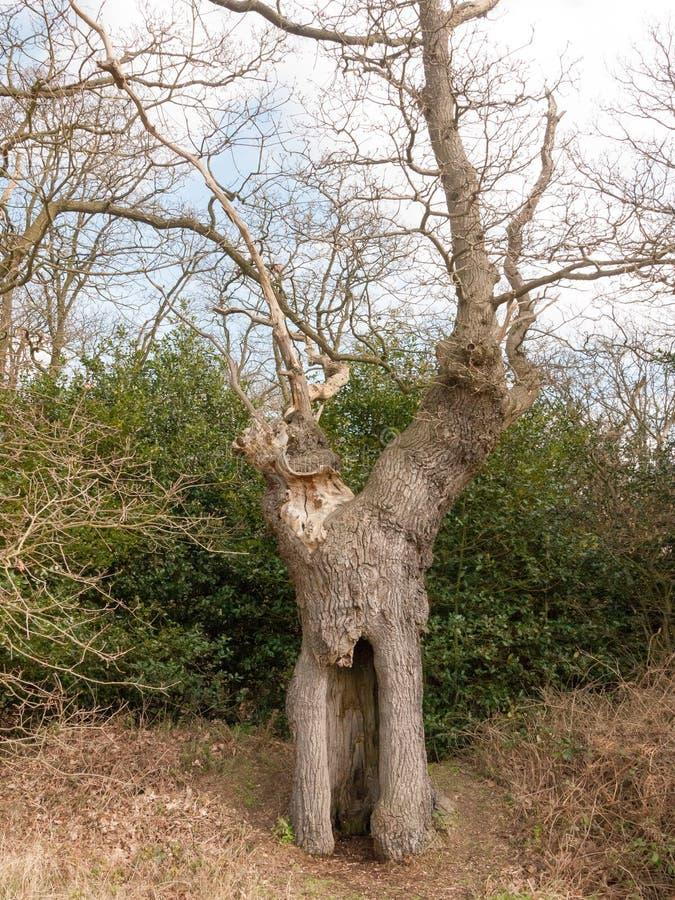 большой чуть-чуть конец сени ветвей полости дуба вверх по детали стоковое фото
