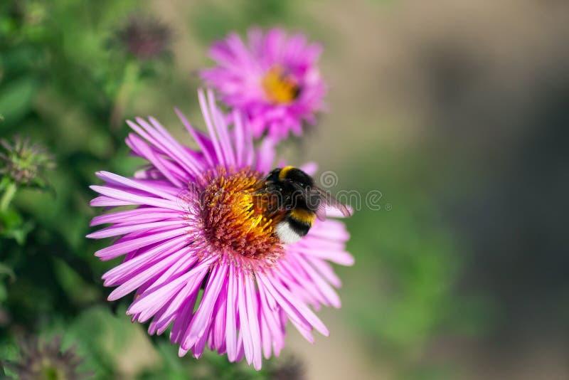 Большой шмель опыляет красивый яркий розовый цветок в зеленом саде стоковое изображение rf