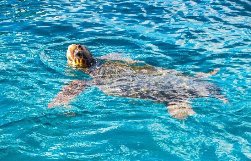 Большой Caretta морской черепахи spoted около острова Закинфа, Греции стоковые изображения rf