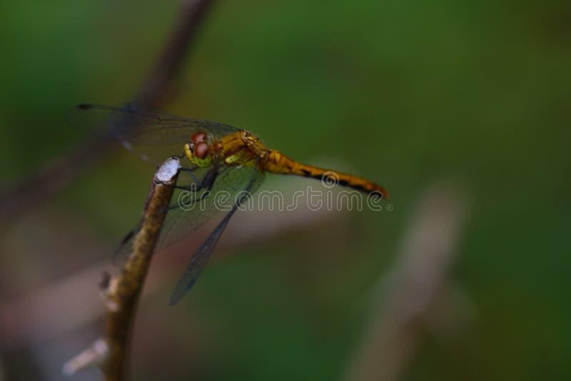 Большой Dragonfly на своем главном стоковые изображения
