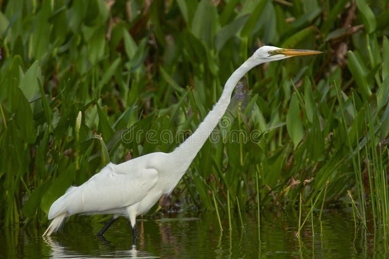 Большой Egret идя вдоль края пруда стоковое изображение