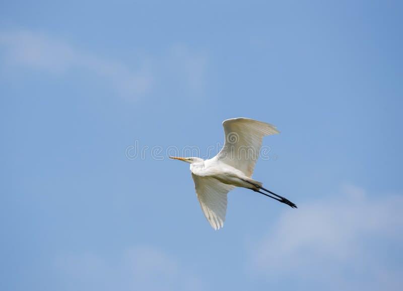 Большой egret летает на предпосылку голубого неба, распространение крылов и стоковая фотография rf