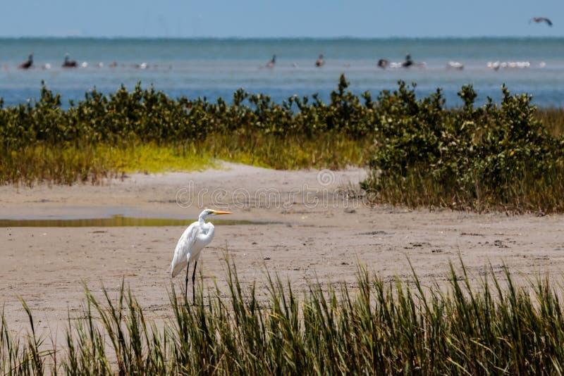 Большой Egret на песке в порте Aransas Техасе стоковое фото rf
