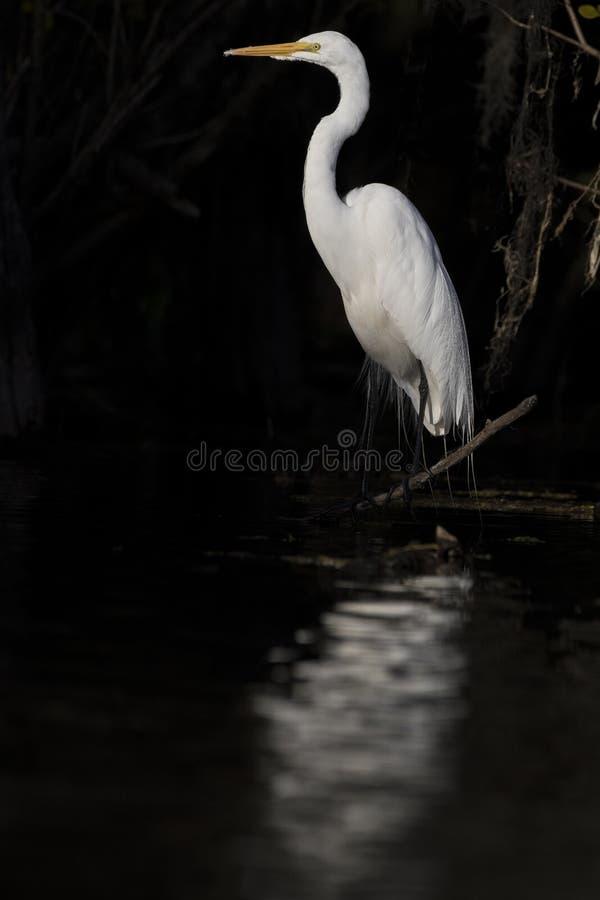 Большой Egret с отражением на реке стоковое изображение rf