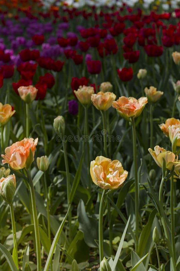 Большой glade поставленный точки с пестроткаными тюльпанами освещенными ярким солнцем стоковые изображения rf