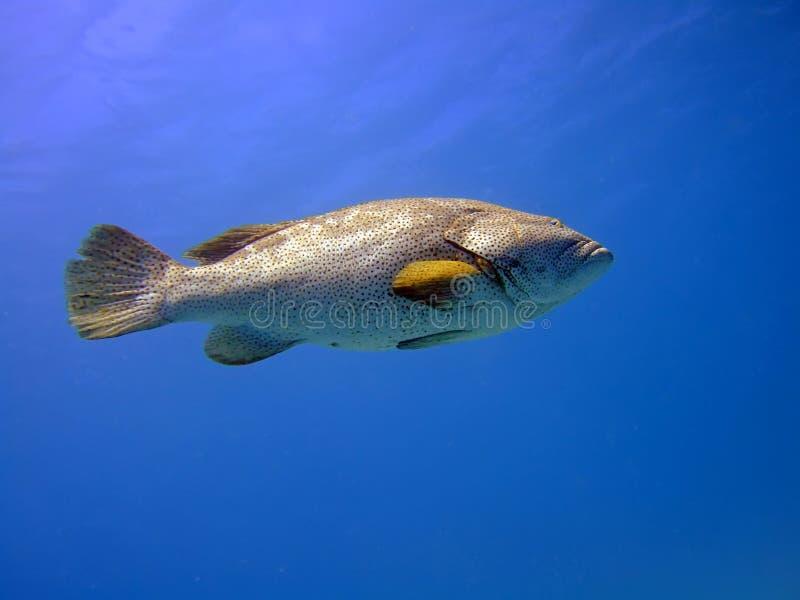 большой grouper стоковая фотография rf