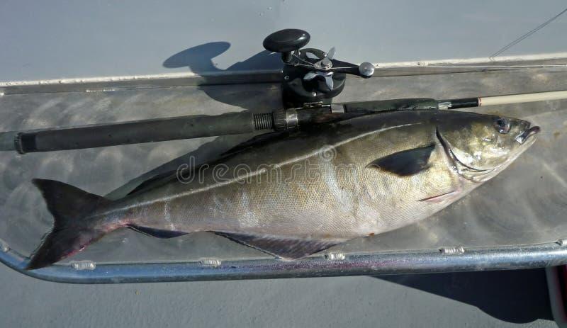 большой pollock рыб стоковые фото