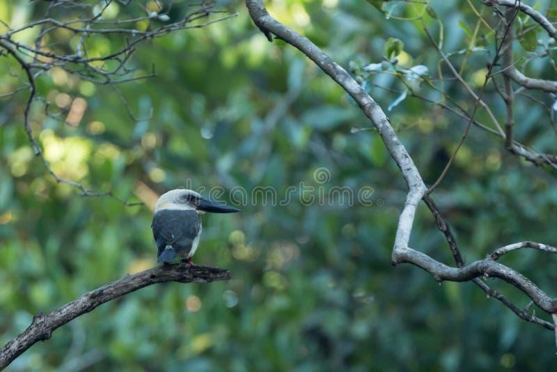 Больш-представленный счет kingfisher или черно-представленное счет melanorhyncha Pelargopsis kingfisher около национального парка стоковая фотография rf