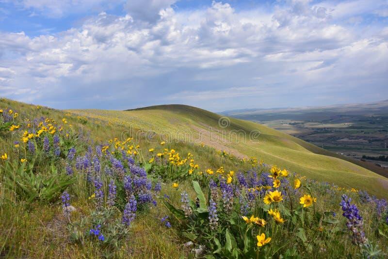 Бонанца холмов рая лошади ботаническая: Lupine, маргаритки, и Penstemon, о мой бог стоковые изображения
