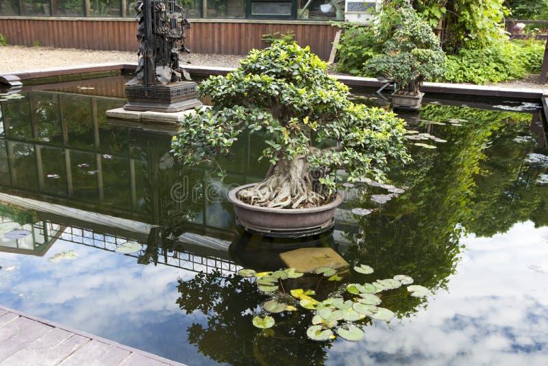 Бонзаи фикуса в ушате в середине пруда как украшение парка стоковые фотографии rf