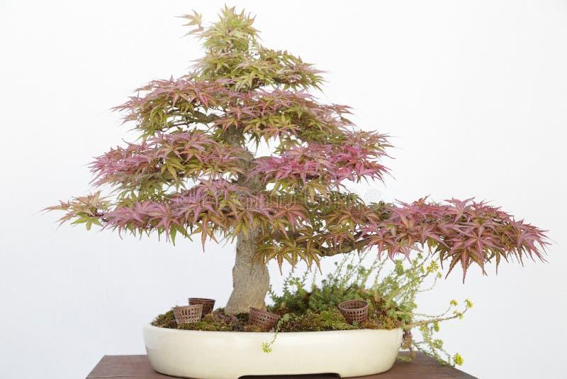 Бонзаи японского клена (acer Palmatum) стоковые фотографии rf