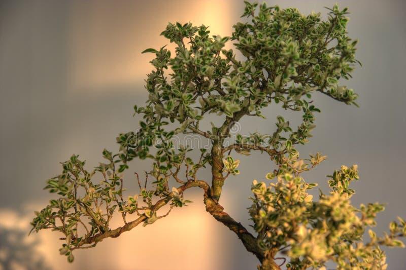 бонзаи стоковое изображение