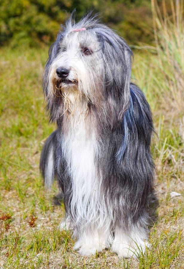 бородатая Коллиа стоковая фотография
