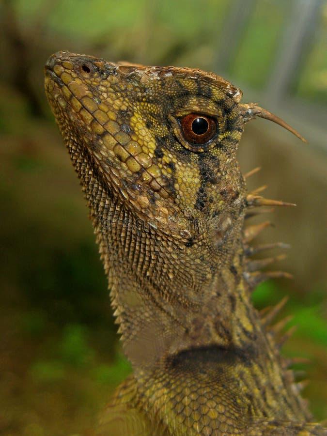 бородатая съемка профиля pogona дракона стоковые фото