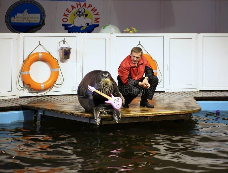 бородатое уплотнение России oceanarium murmansk стоковые изображения