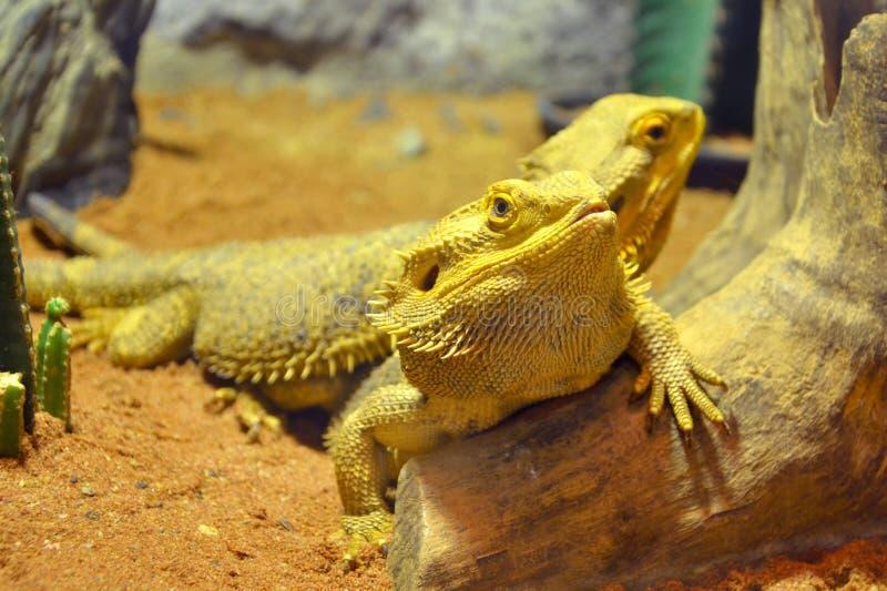 Бородатые драконы стоковая фотография