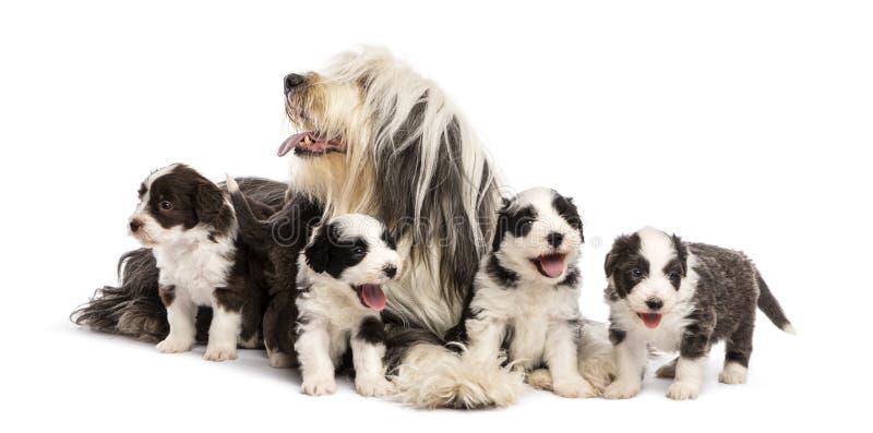 Бородатые щенята Коллиы, 6 недель старых стоковые фотографии rf