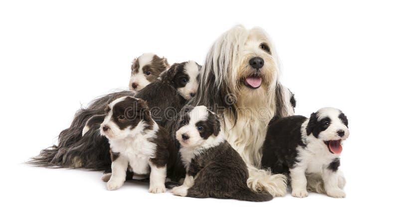 Бородатые щенята Коллиы, 6 недель старых стоковое изображение rf