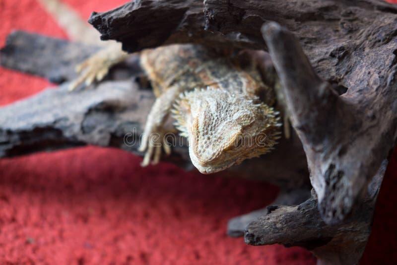 Бородатый дракон взбираясь дерево стоковая фотография