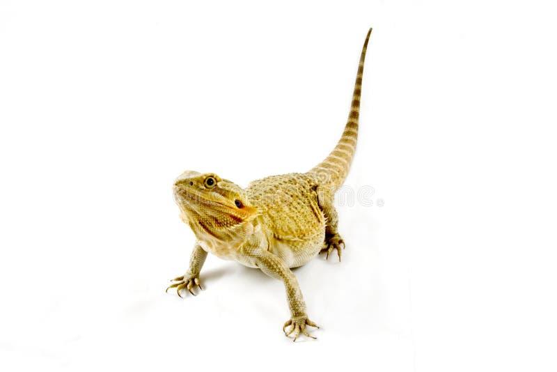 бородатый дракон изолировал просвечивающую белизну стоковая фотография rf