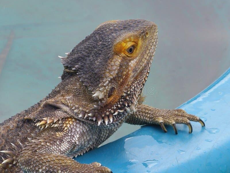 Бородатый дракон на Poolside стоковые фотографии rf