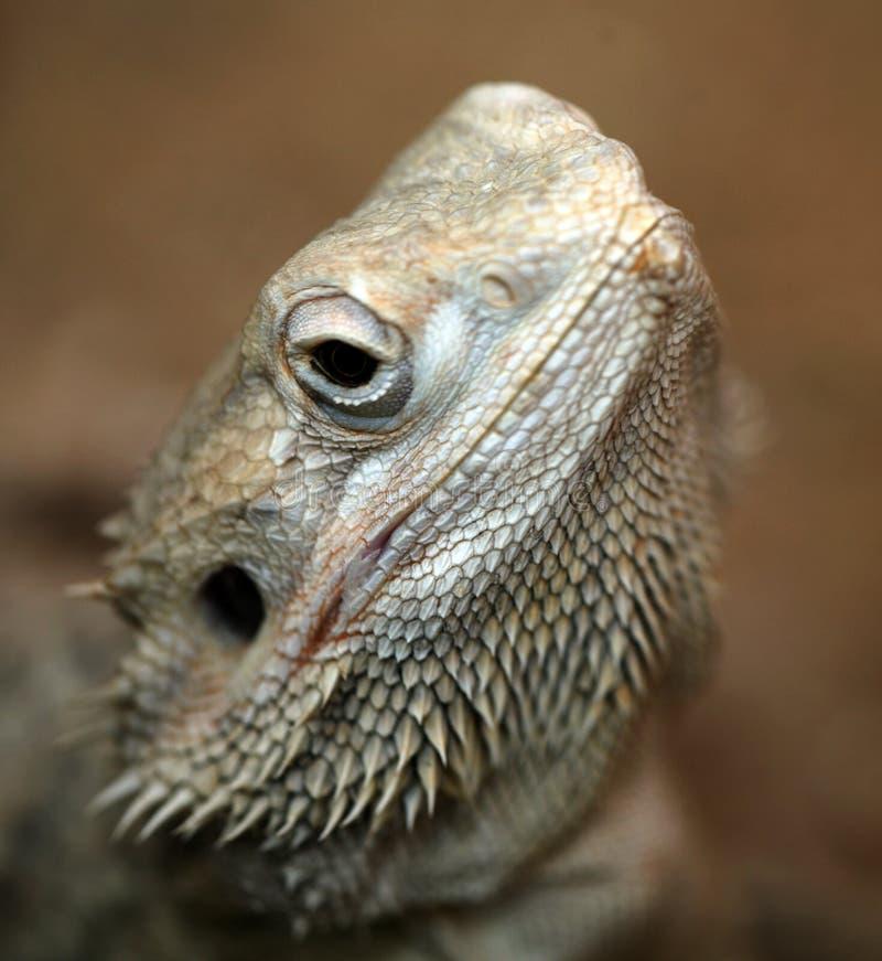 бородатый дракон средиземный стоковые фото