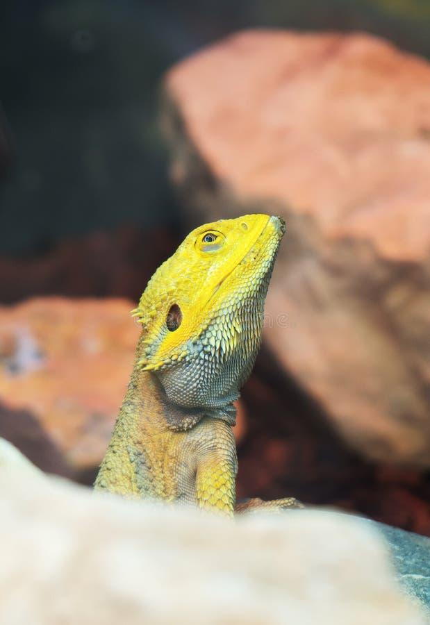 бородатый дракон средиземный стоковое фото rf
