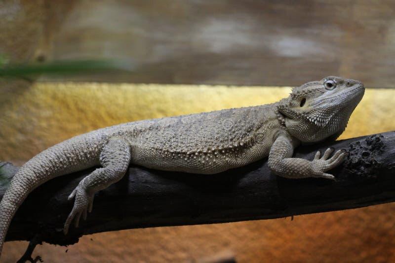 бородатый дракон стоковое фото