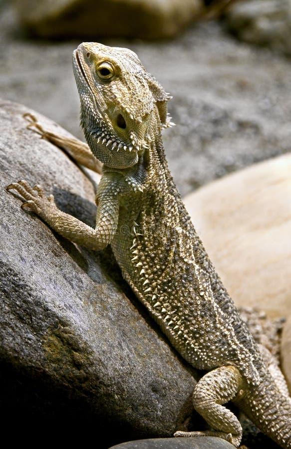 бородатый дракон 2 стоковое изображение