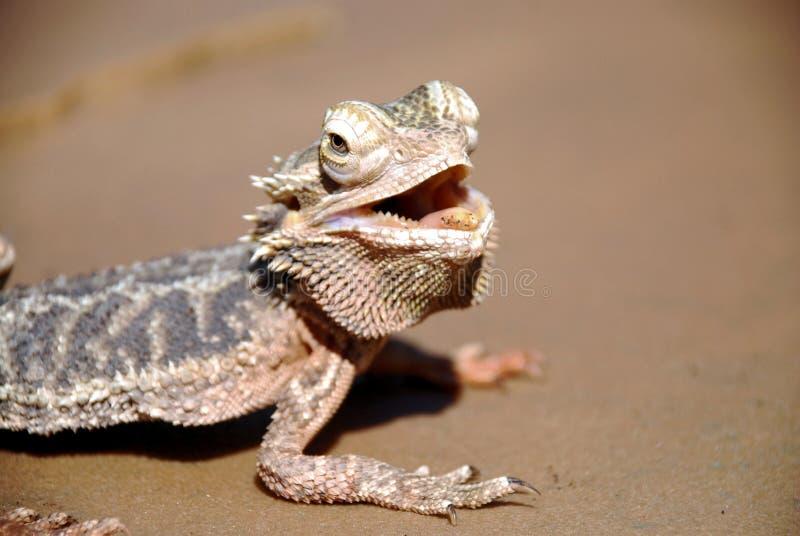 бородатый дракон стоковая фотография rf