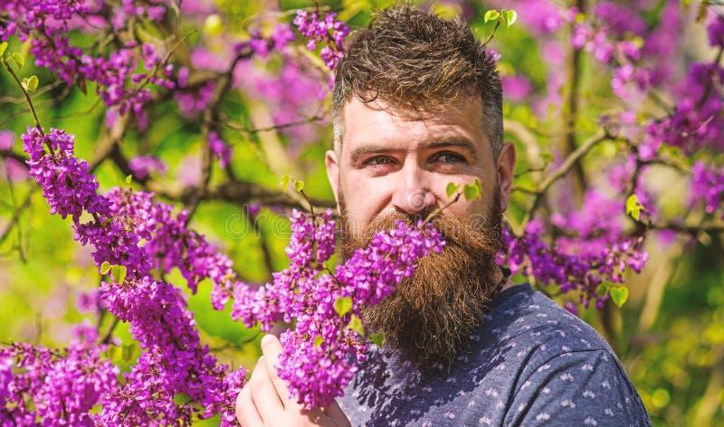 Бородатый человек с свежей стрижкой обнюхивает цветене дерева judas Человек с бородой и усик на спокойной стороне около цветков д стоковая фотография