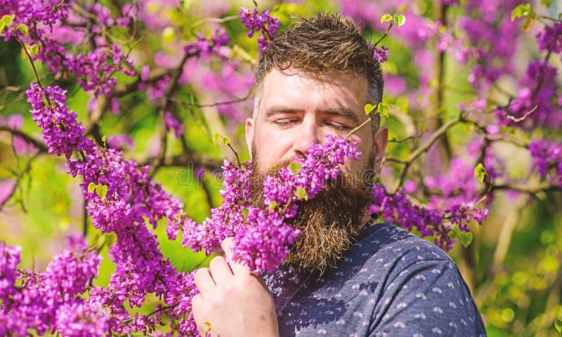 Бородатый человек с свежей стрижкой обнюхивает цветене дерева judas Концепция безмятежности Человек с бородой и усик на мирной стоковая фотография rf