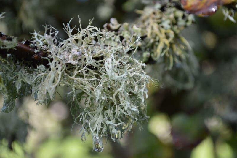 Борода дерева стоковая фотография
