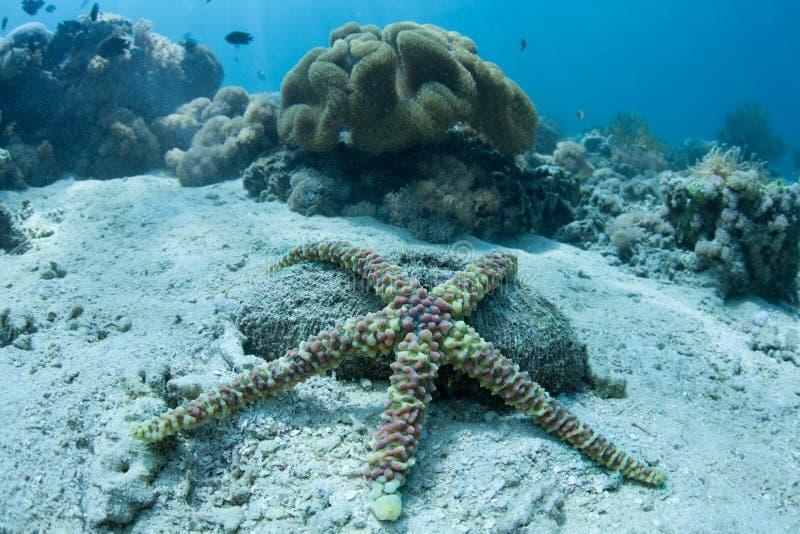 Бородавчатые морские звёзды на морском дне стоковые изображения rf