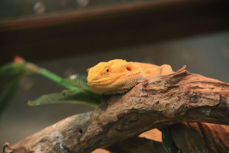 Бородатый дракон, внутренний бородатый дракон стоковое изображение