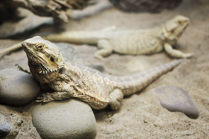 бородатый дракон средиземный стоковая фотография