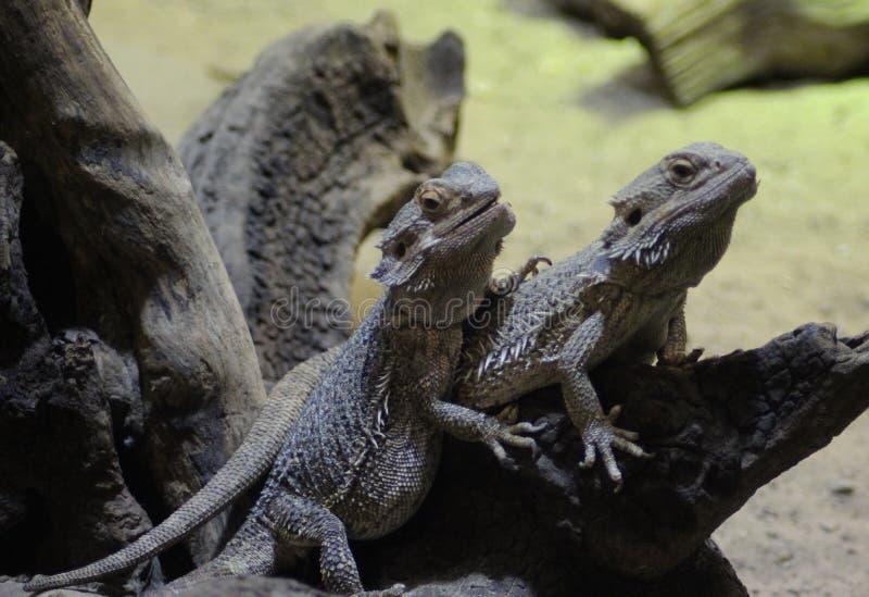2 бородатых дракона стоковая фотография rf
