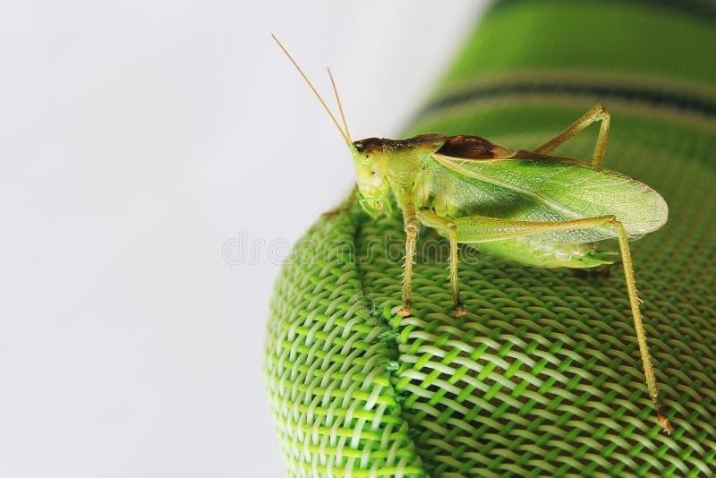 Бортовой конец вверх по изображению саранчи сидя на зеленой синтетической задней части стула стоковая фотография rf