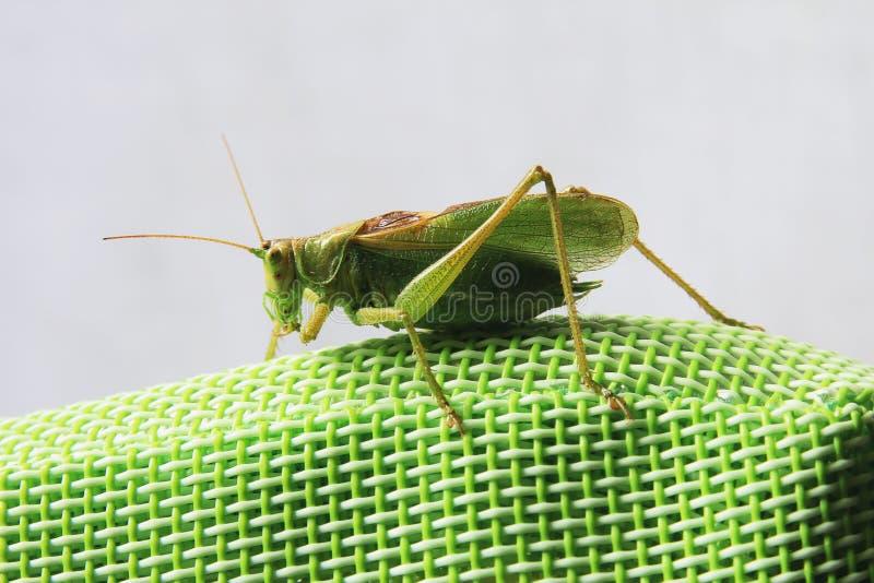 Бортовой конец вверх по изображению саранчи сидя на зеленой синтетической задней части стула стоковые изображения