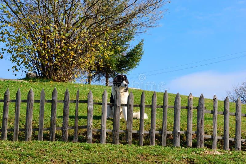 Боснийская собака чабана защищая его двор стоковые изображения