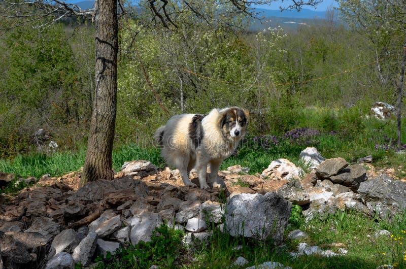 Боснийская собака чабана (Tornjak) стоковое фото rf