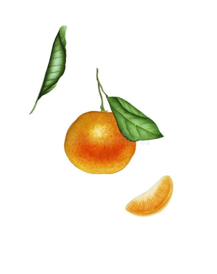 Ботаническая акварель с мандарином стоковое изображение rf
