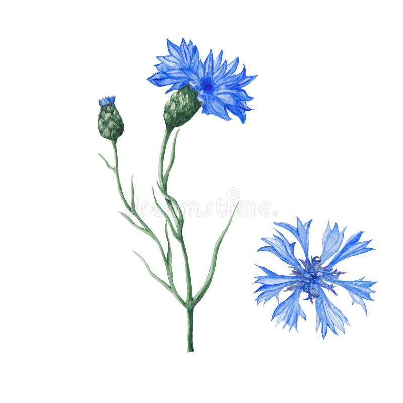 Ботаническая иллюстрация акварели бесплатная иллюстрация