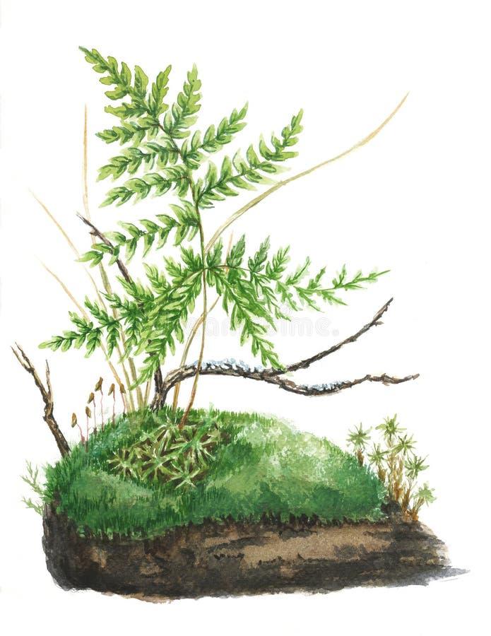 Ботаническая иллюстрация Мох и папоротник акварели иллюстрация вектора