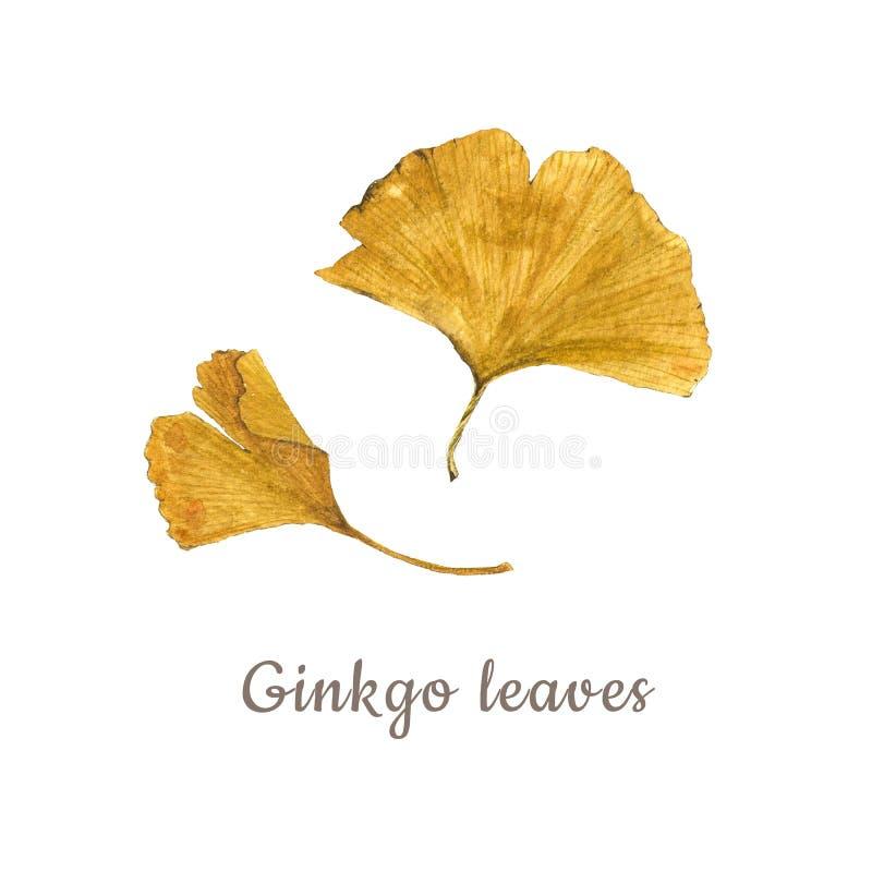 Ботаническая иллюстрация акварели желтых листьев гинкго изолированных на белой предпосылке с описанием стоковые изображения rf