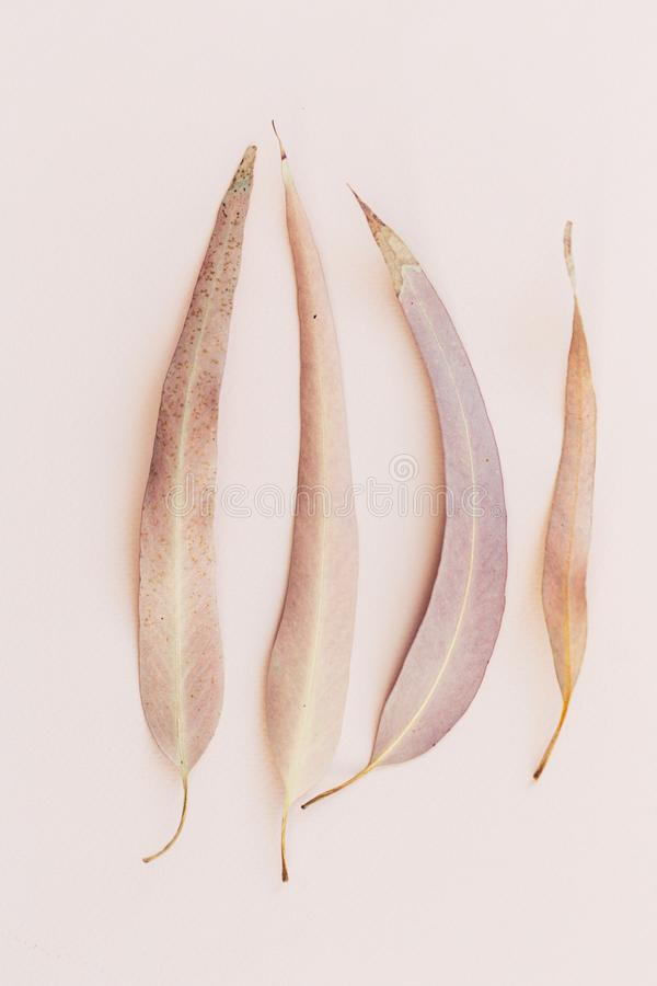 Ботаническая печать, евкалипт выходит крупный план на розовую бумажную предпосылку стоковое изображение