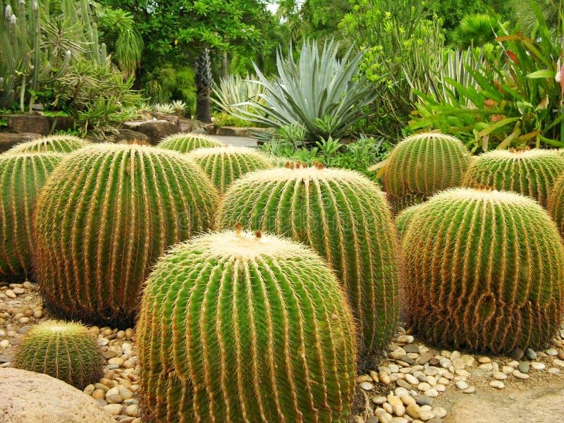 ботанический гигант сада кактусов стоковая фотография rf