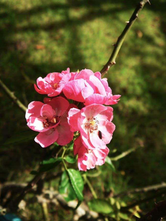 Ботанический пинк Роза стоковая фотография rf